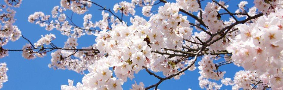 Hanami - Kersenbloesem