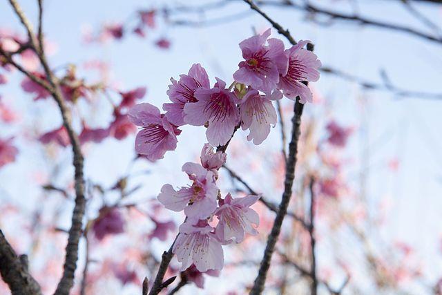 Roze sakura in Okinawa - Foto credit: Wikimedia Commons