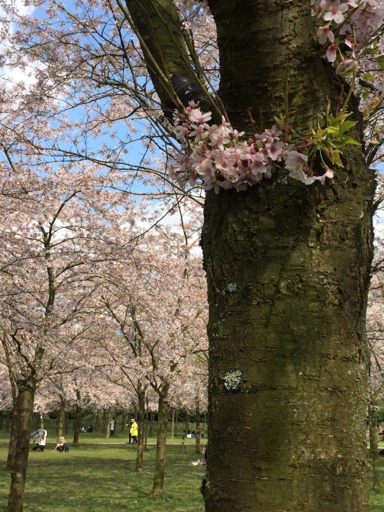 Japanse kersenboom