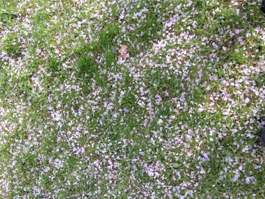 Rozen blaadjes van de kersenboom
